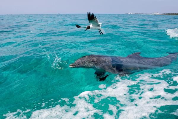 atlantic bottlenose dolphin