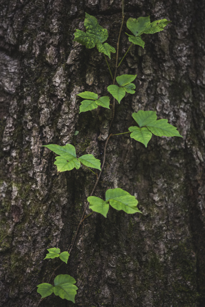 poison ivy vine growing on tree