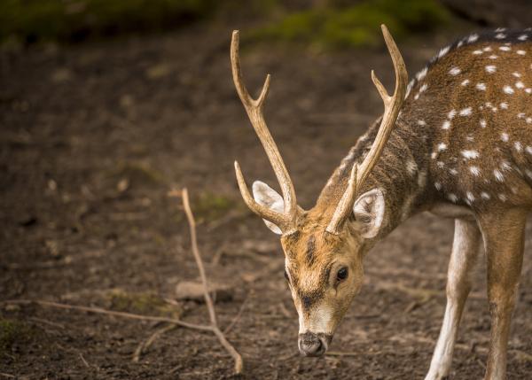 axis deer male portrait