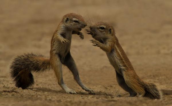 young squirrels at play kgalagadi transfrontier