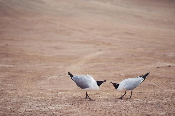 laughing gulls leucophaeus atricilla chile