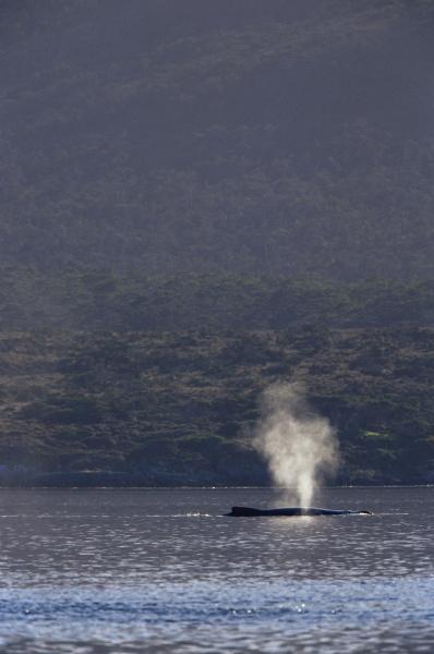 humpback whale megaptera novaeangliae blowing francisco