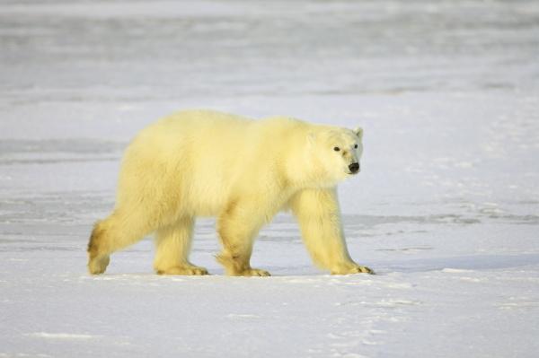 polar bear thalarctos maritimus churchill manitoba
