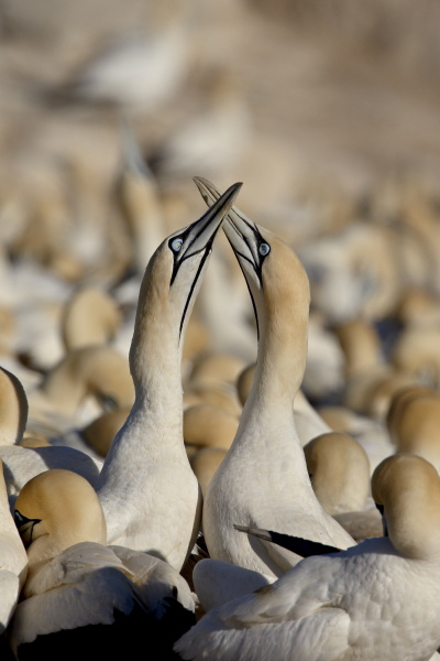 cape gannet morus capensis pair necking