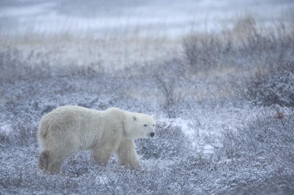polar bear ursus maritimus churchill manitoba