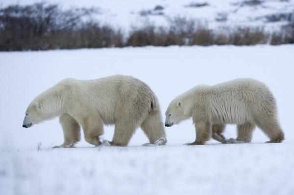 polar bear with cub ursus maritimus