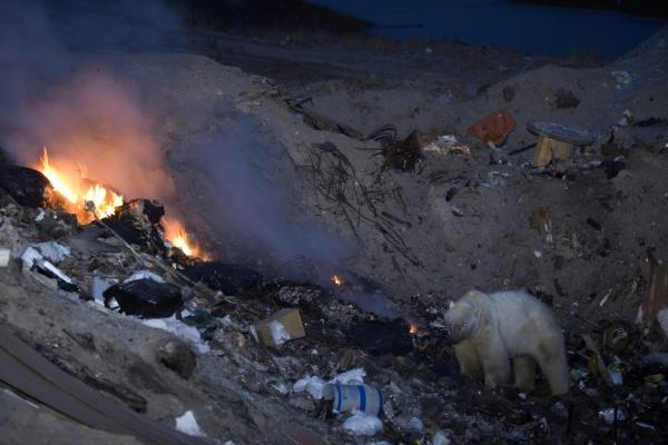 polar bear at the dump ursus