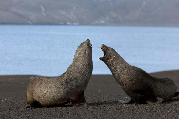 antarctic fur seals arctocephalus gazella deception