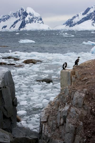 shags on petersmann island antarctica polar