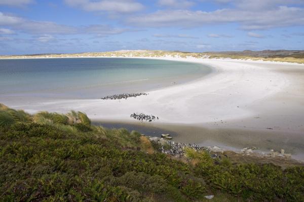 magellanic penguins yorke bay port stanley