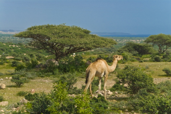 camel on the outskirts of djibouti