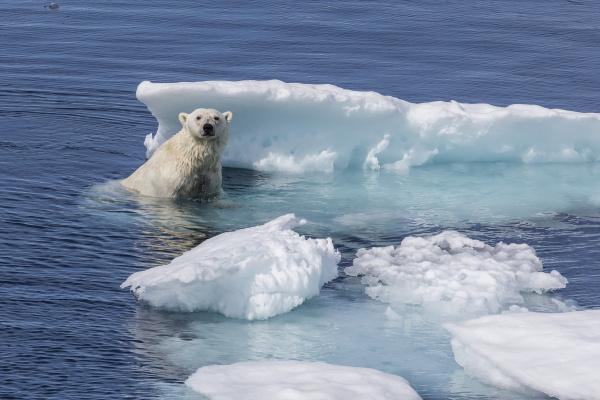 adult polar bear ursus maritimus emerging