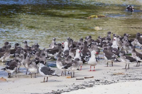 adult dolphin gulls leucophaeus scoresbii amongst