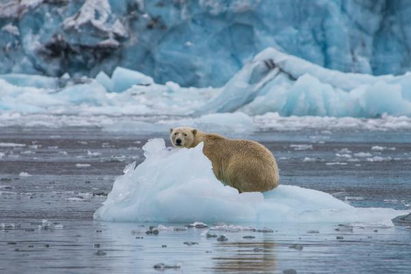 polar bear ursus maritimus sitting on