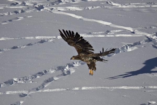 juvenile golden eagle aquila chrysaetos