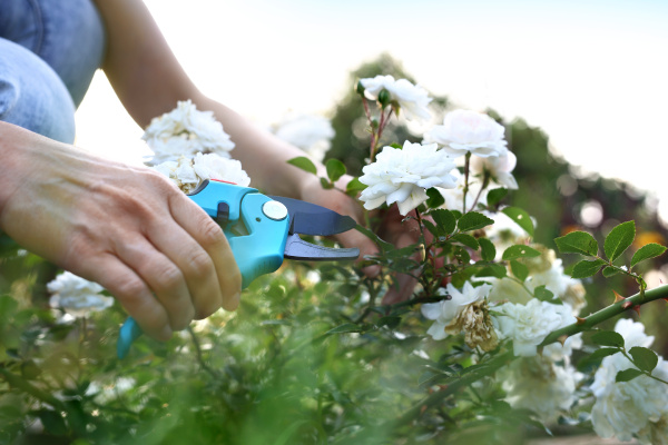 pruning shrub roses