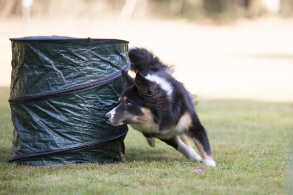 dog border collie agility training