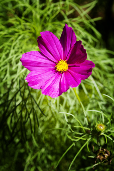 pink blossom of mexican aster