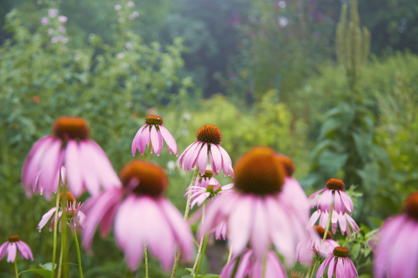 close up of pink echinacea flowers