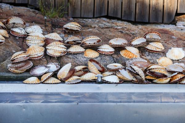 many scallop shells lying near sink