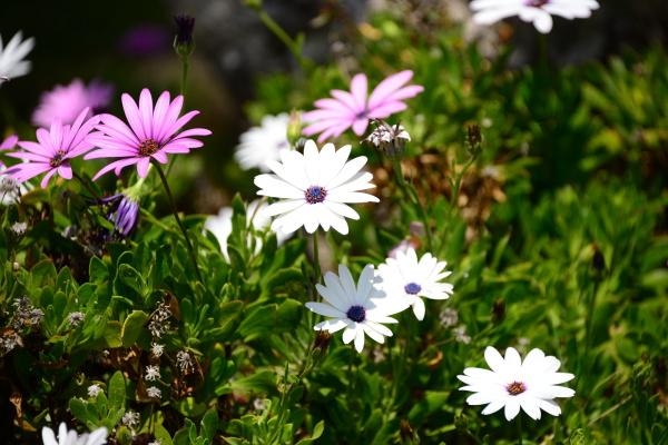 magaritan flowers in spain