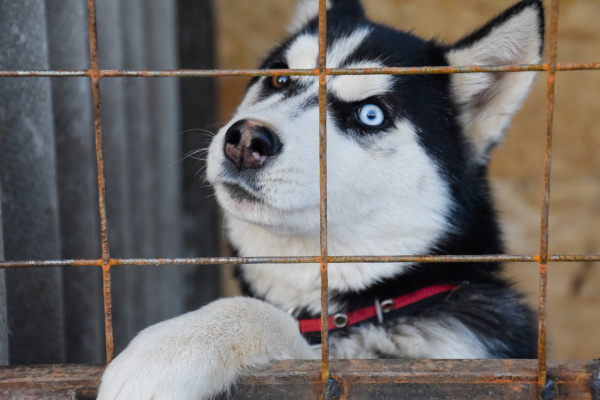 husky dog with different eyes black