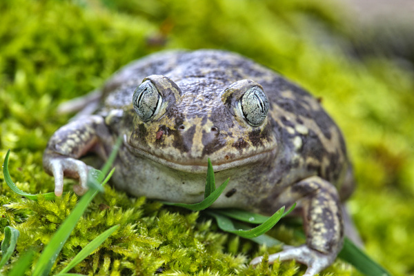 portrait of spanish spadefoot toad