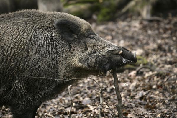 eurasian wild boar sus scrofa adult