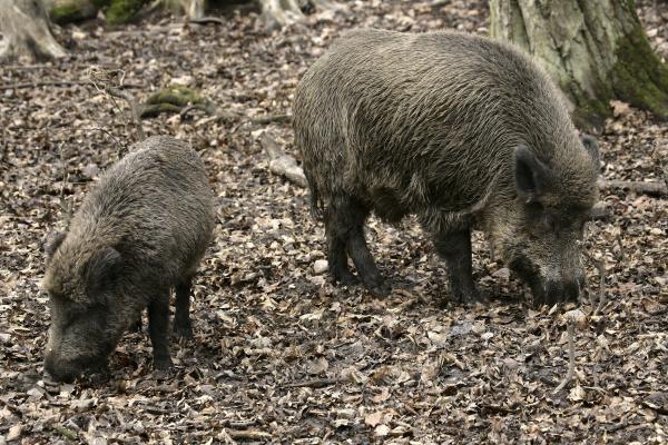 eurasian wild boar sus scrofa