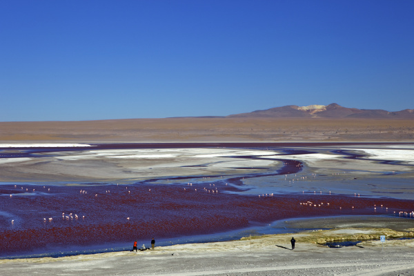 flamingos on laguna colorada red lagoon