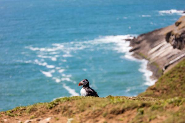 puffin on skomer island pembrokeshire wales