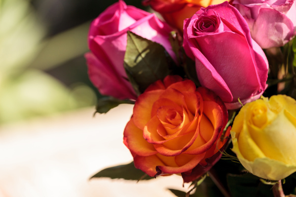 roses in a rainbow of colors