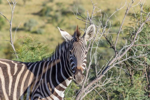 burchells zebra equus quagga
