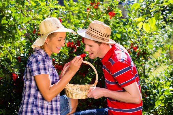 couple harvesting berries in garden from