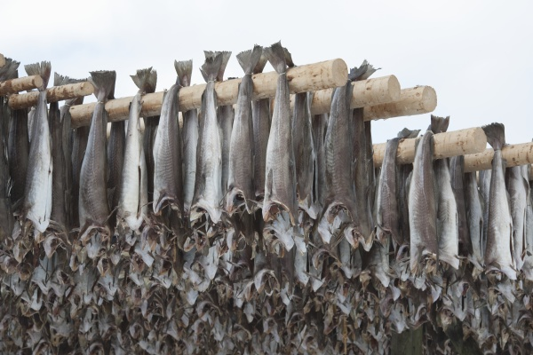 dried cod stockfish in loftofen norway