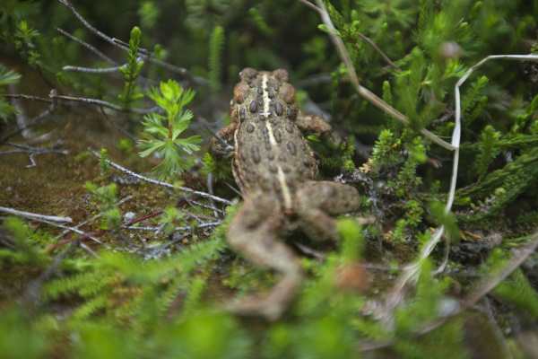 a juvenile western toad