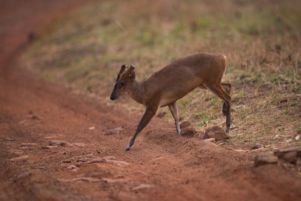 barking deer crossing dirt track in