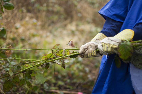 person removing invasive plants himalayan blackberry