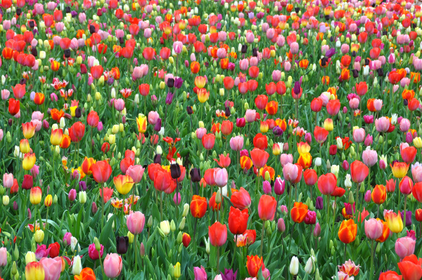 tulip bed in a park