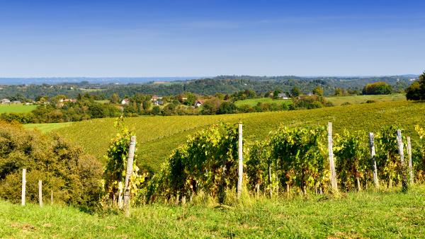 vineyard of the jurancon wine in