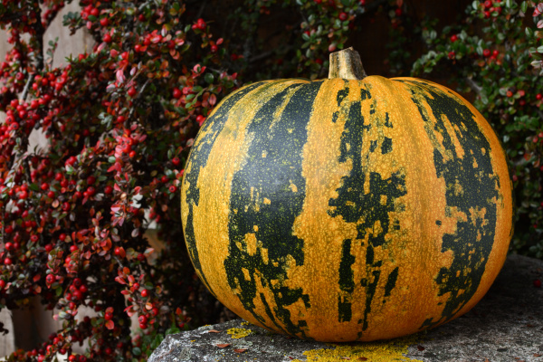 large pumpkin with stripes surrounded