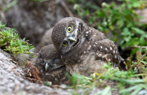 burrowing owlet with cocked head