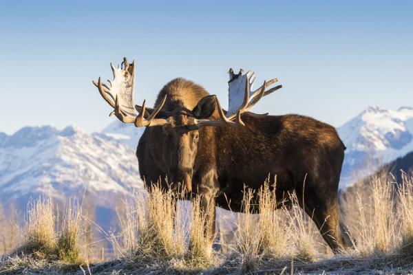 bull moose alces alces