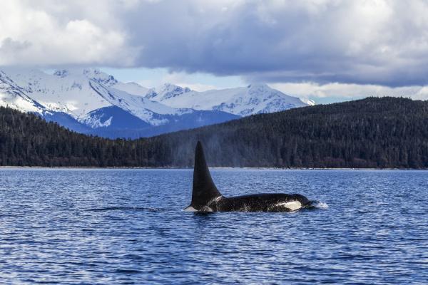 an orca whale or killer
