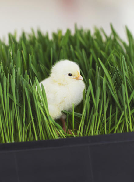 baby chick in a planter growing