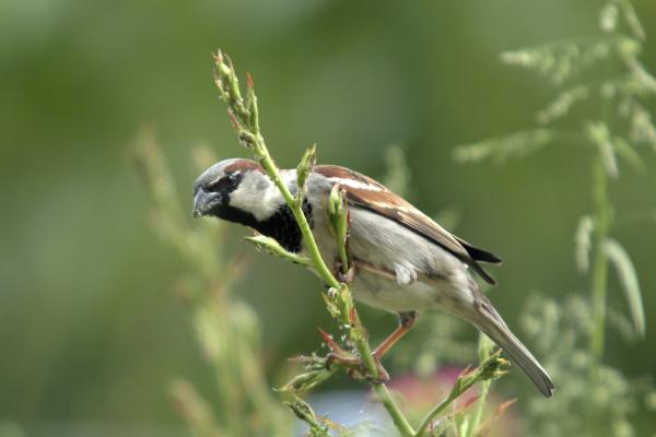 house sparrow sparrow passer domesticus