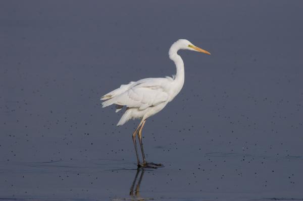 great egret egretta alba