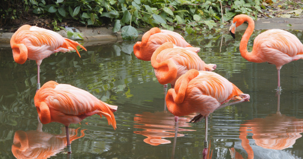 pink flamingos in natural