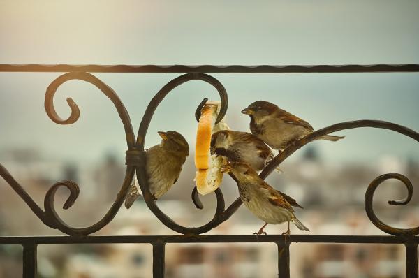 sparrows eating bread