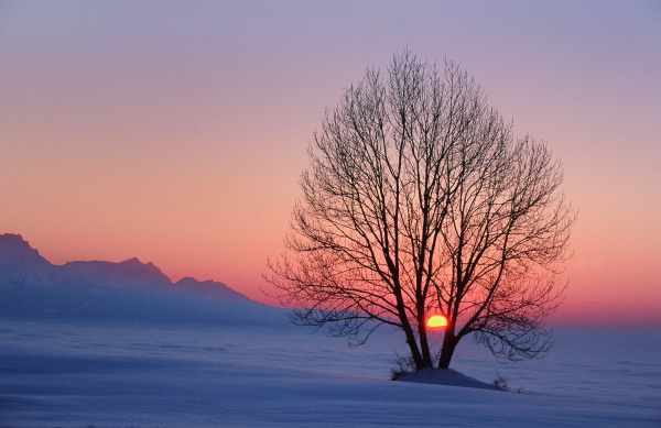 tree silhouette in the sunset from